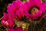 Prickly Pear Cactus Arizona Desert Horizontal