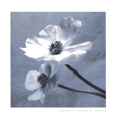 Anemones Poster by Steven N. Meyers for $35.00 CAD