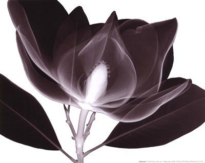 Magnolia (Sm.) Poster by Steven N. Meyers for $15.00 CAD