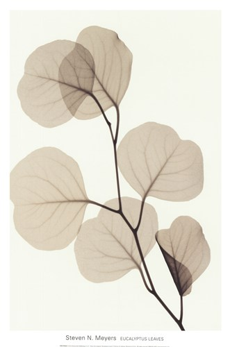 EUCALYPTUS LEAVES Poster by Steven N. Meyers for $17.50 CAD