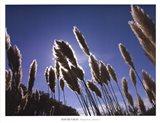 Pampas Grass, Provence