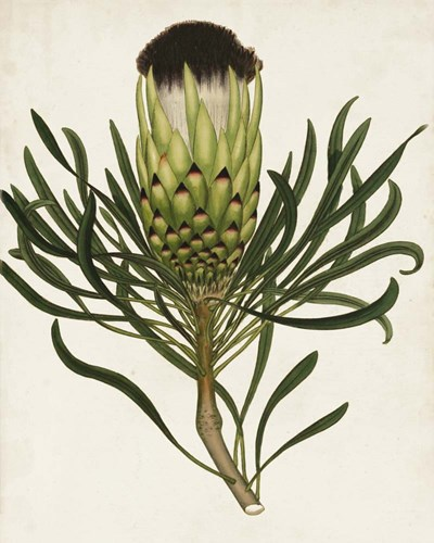 Antique Protea II Poster by Unknown for $53.75 CAD