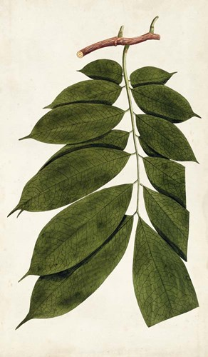 Leaf Varieties III Poster by Vision Studio for $55.00 CAD