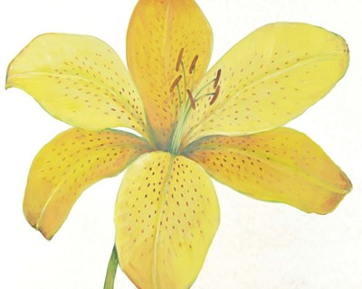 Citron Tiger Lily II Poster by Timothy O'Toole for $53.75 CAD