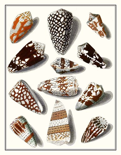 Collected Shells V Poster by Vision Studio for $45.00 CAD