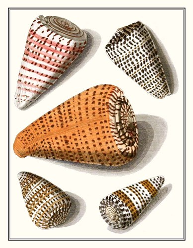 Collected Shells IX Poster by Vision Studio for $45.00 CAD
