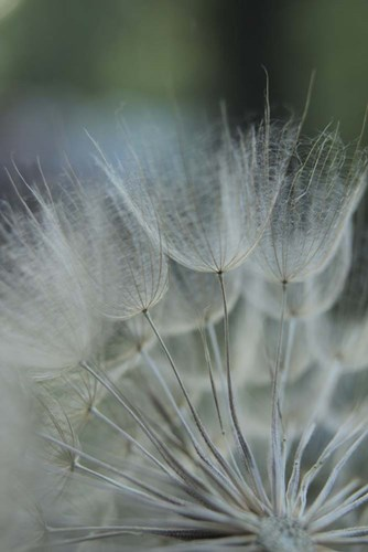Macro Dandilion VIII Poster by Renee Stramel for $42.50 CAD
