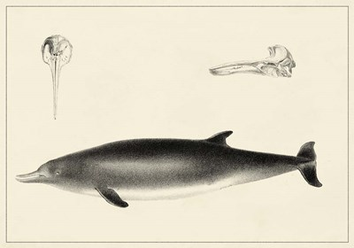 Antique Dolphin Study I Poster by Unknown for $48.75 CAD