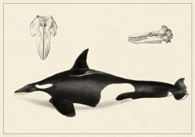 Antique Whale Study I Poster by Unknown for $48.75 CAD