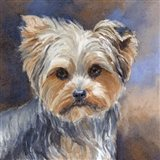 Sadie Belle Yorkshire Terrier