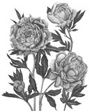 Flowers in Grey V