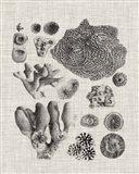 Coral Specimen II