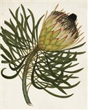 Antique Protea III