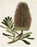 Antique Protea V