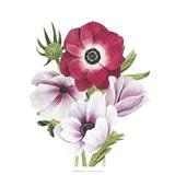 Anemone Blooms I