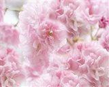 Cherry Blossom Study IV