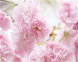 Cherry Blossom Study V