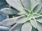 Storybook Succulent III