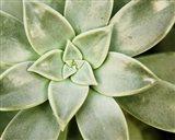 Spring Succulent I