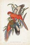 Tropical Parrots I