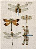 Dragonfly Study II