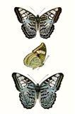 Butterfly Specimen I