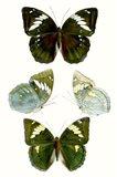 Butterfly Specimen IV