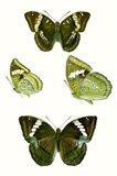 Butterfly Specimen VII