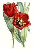 Curtis Tulips V