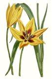 Curtis Tulips VI