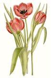 Curtis Tulips VII
