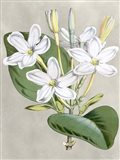 Alabaster Blooms II