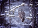 Owl in the Snow II