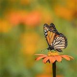 Butterfly Portrait IV