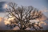 Grand Oak Tree II