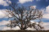 Grand Oak Tree III