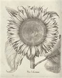 Fresco Sunflower I