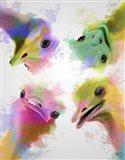 Rainbow Splash Four Ostriches