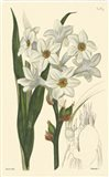 White Curtis Botanical I