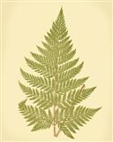 Lowes Fern I (PP)