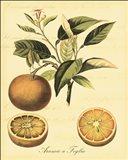 Petite Tuscan Fruits III