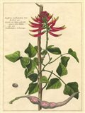 Fleur De Rouge IV
