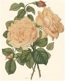 Vintage Roses III