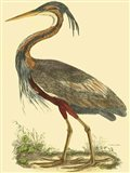 Small Purple Heron