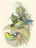 Small Birds of Tropics I