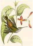Delicate Hummingbird