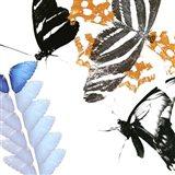 Butterfly Inflorescence II