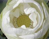 Delicate Lotus I