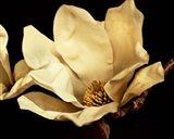 Buttercream Magnolia I