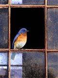Bluebird Window